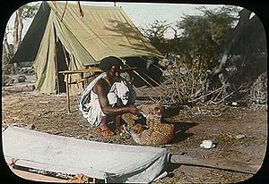 Tanzanian cheetah - Somali man playing with two cheetah cubs in Somalia since 1896. They could either be of Tanzanian or Sudanese origin.