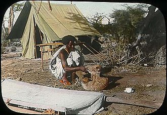 East African cheetah - Somali man playing with two cheetah cubs in Somalia since 1896. They could either be of Tanzanian or Sudanese origin.