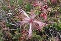 Sonoran Desert, Late Winter 2013, Calliandra eriophylla – Fairyduster - panoramio.jpg
