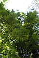 Sophora microphylla kz05.jpg