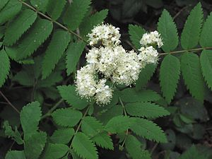 Sorbus aucuparia Wilde lijsterbes bloeiwijze