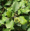 Sorbus cordigastensis 220816d.jpg