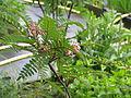 Sorbus sp pink flowers (14302184002).jpg