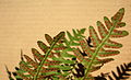 Close up of the underside of a fertile frond of Polypodium virginianum