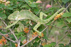 South Asian Chamaeleon (Chamaeleo zeylanicus) W IMG 1823.jpg