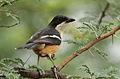 Southern Boubou, Laniarius ferrugineus at Pilanesberg National Park, Northwest Province, South Africa (16814135237).jpg