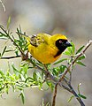 Southern Masked Weaver (Ploceus velatus) male (32612604436).jpg