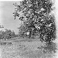 Spanje, landbouw, sinaasappelbomen, Bestanddeelnr 918-0116.jpg