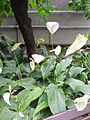 Spathiphyllum cochlearispathum1.jpg