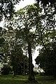 Spathodea Campanulata - 06.jpg