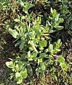 Sphaeranthus indicus 17.JPG