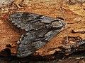 Sphinx pinastri - Pine hawk-moth - Бражник сосновый (28954366507).jpg