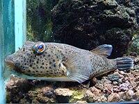 Sphoeroides marmoratus.001 - Zoo Aquarium de Madrid.JPG
