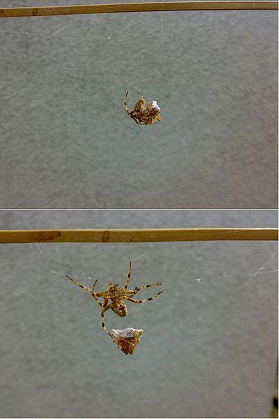 Image:Spider fight 4.jpg
