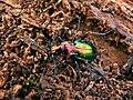 Splendid Ground Beetle (Chrysocarabus splendens) found in deadwood (8333998987).jpg