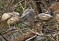 Spot-billed Pelican (Pelecanus philippensis) feeding a juvenile in Garapadu, AP W IMG 5251.jpg