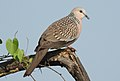 Spotted Dove Spilopelia chinensis by Dr. Raju Kasambe DSCN 2435 (3).jpg