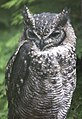 Spotted Eagle Owl (3947349815).jpg