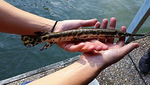 Spotted gar - This species was caught in Kentucky Lake by Ecology students from Murray State University
