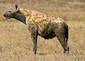 Spotted Hyena in Serengeti cropped.jpg