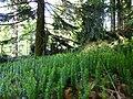 Sprossender Bärlapp Bayerischer Wald.jpg