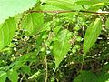 Stachyurus praecox Fruits.JPG