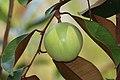 Star apple - Chrysophyllum cainito.jpg