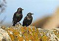 Starlings - North Ronaldsay (8262046210).jpg