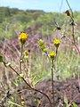 Starr-040513-0027-Bidens pilosa-flowers-Puu o Kali-Maui (24406710660).jpg
