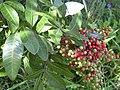 Starr-041018-0009-Schinus terebinthifolius-berries-Haiku-Maui (24089835334).jpg