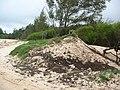 Starr-050121-3157-Cynodon dactylon-Americorps work site-Kanaha Beach-Maui (24641283801).jpg