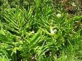 Starr-050817-3948-Hedychium coronarium-flowers-Keahuaiwi Gulch-Maui (24776225176).jpg