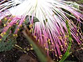 Starr-090813-4181-Barringtonia asiatica-flowers-Kamalii Park Kahului-Maui (24676554300).jpg