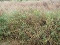 Starr-090814-4321-Solanum lycopersicum-fruiting habit-Industrial area Mokulele Hwy-Maui (24972257905).jpg