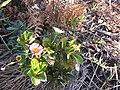Starr-100218-2163-Erigeron karvinskianus-flowers mixed with ohelo-Helu West Maui-Maui (25009371395).jpg