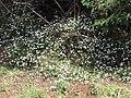 Starr-100603-6871-Erigeron karvinskianus-flowering habit-Polipoli-Maui (24412999153).jpg