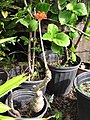 Starr-110215-1098-Jatropha podagrica-flowering habit-KiHana Nursery Kihei-Maui (25049259916).jpg