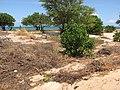 Starr-110328-3460-Thespesia populnea-still alive thrashed area after tsunami-Kanaha Beach-Maui (25053824106).jpg