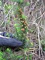 Starr-110331-4598-Erica lusitanica-spent flowers and leaves-Shibuya Farm Kula-Maui (24455103563).jpg