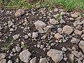 Starr-121031-0572-Ulex europaeus-habitat with bean butterfly Lampides boeticus mudding-Waikamoi Flume Rd-Maui (24564668104).jpg