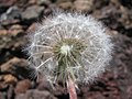 Starr-130514-2101-Taraxacum officinale-seedhead-Science City-Maui (25092568572).jpg