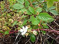 Starr-170516-0347-Rubus argutus-flowers fruit leaves-Lower Kula Pipeline Haiku Uka-Maui (35188832796).jpg