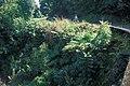 Starr-990106-3029-Livistona chinensis-habit in gulch-Hana Hwy-Maui (24498987576).jpg
