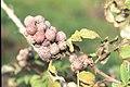 Starr-990107-3126-Rubus niveus-form a fruits-Polipoli-Maui (23897079024).jpg