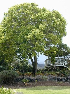 <i>Cinnamomum</i> Genus of flowering plants
