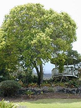 http://upload.wikimedia.org/wikipedia/commons/thumb/d/de/Starr_010419_0038_cinnamomum_camphora.jpg/260px-Starr_010419_0038_cinnamomum_camphora.jpg