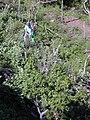 Starr 020112-0009 Hibiscus brackenridgei subsp. brackenridgei.jpg