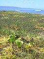 Starr 031005-0050 Ipomoea pes-caprae subsp. brasiliensis.jpg