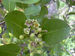 Chrysobalanus icaco leaves and flowers(Forest & Kim Starr (USGS)