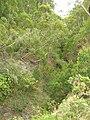 Starr 050815-3439 Bocconia frutescens.jpg